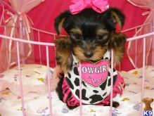Yorkies are non shedding and hypoallergenic with a soft Email : goldpuppy202@gmail.com