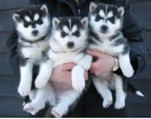 Lovable baby joy siberian husky puppies --