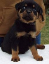 rottweiler pups available for new home