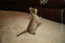 Home Raised savannah Kittens.(404) 947-3957