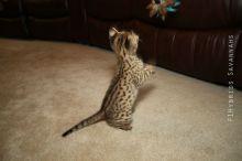 Home Raised savannah Kittens.(404) 947-3957