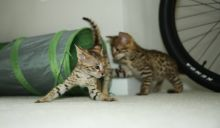 Stunning male and female F2 savannah kittens Available...(404) 947-3957