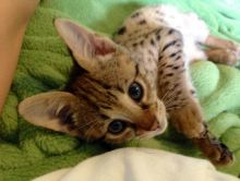 Beautiful F1 and F2 Savannah Kittens Available - (404) 947-3957