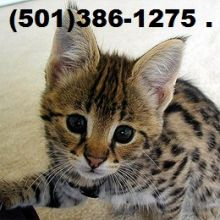Beautiful Savannah and Serval Kittens!