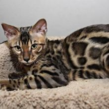 Beautiful Savannah and Serval Kittens!