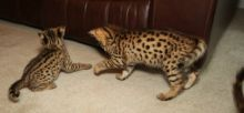 Bouncing litter of F2 Savannah kittens.(404) 947-3957