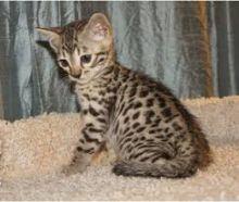 champion Savannahs Kittens.