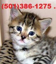 F1 Savannah cats for saleSavannah F3 Female 4 months