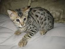 F3 Female Savannah Kittens Available for sale Now