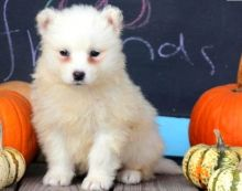 Gorgeous Samoyed puppies available (614) 398 0887 )