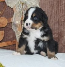 Healthy Male and Female Bernese Mountain puppies (( (614) 398 0887