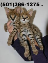 Savannah Kitten for sale