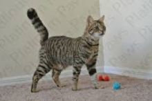 Savannah Kittens F5 for sale
