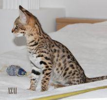 Stunning golden brown spotted Male and Female savannah Cats.(404) 947-3957