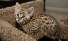 Well Socialized F2 Savannah Kittens Available ..(404) 947-3957