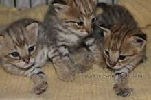 F1 Savannah male and fem kitten for sale for sale Image eClassifieds4U