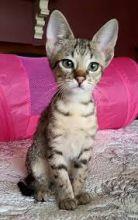 F2 Savannah female kitten l Image eClassifieds4u 2