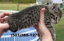 Beautiful Savannah Kittens! TICA registration,