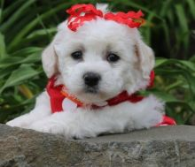 Cutie Bichon Frise Puppies . if interested text 410..929..0069 Email: SERGERENALDO@GMAIL.COM