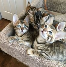 Well Socialized F1 and F2 Savannah Kittens Available Image eClassifieds4u 2