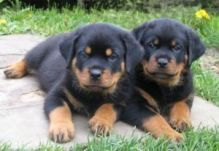 championed sired rottweiler puppies ready for rehoming/a.k10299.2.0@gmail.com