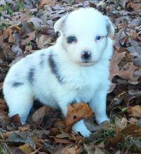 Amazing M/F Australian Shepherd Puppies Image eClassifieds4U