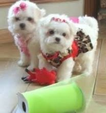 size Teacup Maltese puppies
