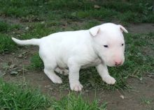 Bull Terrier available for adoption