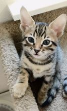 F1-F2 and F4 Savannah Kittens available now.