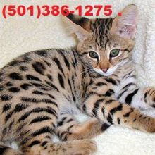TICA registered F4 Savannah male kitten looking