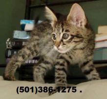 TICA registered F4 Savannah male kitten looking Image eClassifieds4u 3