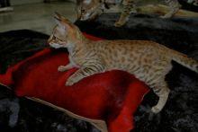 TICA registered F4 Savannah male kitten looking Image eClassifieds4u 4