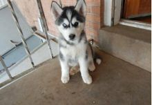 Siberian Looking for family to adopt Husky Puppies (720) 538-4810