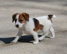 Lovely Jack Russell puppies for free.!!text us at (443) 863-9158