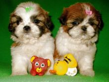 Shih Tzu Puppies Available