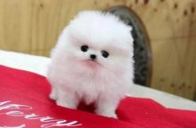 Adorable Purebred Pomeranian puppies.Text (612) 314-5196