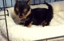 Affectionate Teacup Male and Female Yorkie puppis for Sale
