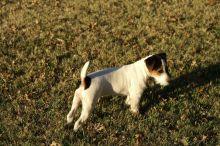 Jack russell puppies minature