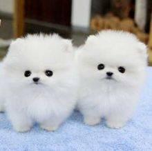Pomeranian Puppy. Ready Now