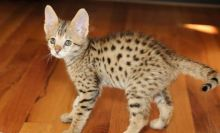 Available male and female F1 savannah kittens (404) 947-3957