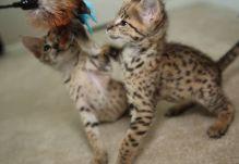 Male / Female F2 savannah kittens..(404) 947-3957