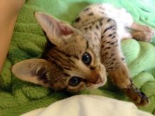 Cutest Male and Female F2 Savannah Kittens for sale (404) 947-3957