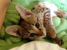 Lovely socialized F2 Savannah kittens (404) 947-3957