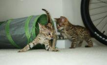 Joyful F2 savannah kittens .. (404) 947-3957