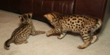 Outstanding F2 savannah kittens ready to go. (404) 947-3957