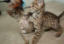 PEDIGREE Amazing Brown spotted savannah kittens.. (404) 947-3957