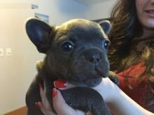 female french bulldog(607)431-8064