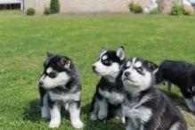Siberian Husky Mastiff Mix/ www.huskyheavens.com