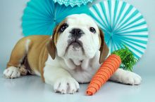 English Bulldog Female and Male Puppies.