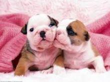 English Bulldog puppies ready for adoption (607)431-8064